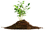 枸杞种植技术之栽植技术